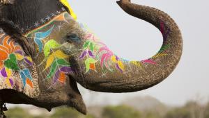 INDIE – Święto Holi i Festiwal SłoniŚwięto Holi, znane jest także jako Festiwal Kolorów – zwiastuje koniec zimy i zapowiada nadejście czasu obfitości – sezonu wiosennego. Obchodzone jest zazwyczaj w miesiącu phalguna, dzień po marcowej pełni księżyca.Do ważnych akcentów poprzedzających obchody Holi jest palenie Holika - ogniska symbolizującego zwycięstwo dobra nad złem. Zgromadzeni śpiewają i tańczą wokół płomieni, obchodząc je trzykrotnie. Holi zaczyna się następnego dnia rano. Najpierw odgrywa się pościg, którego uczestnicy obrzucają się kolorowym proszkiem i oblewają wodą – można to porównać do polskiego śmigusa-dyngusa, ale jest zdecydowanie bardziej kolorowo. I znacznie cieplej. To niezwykle beztroskie święto, któremu towarzyszy wesoła muzyka i zabawa na ulicach, więc jeżeli tylko nie biocie się trochę ubrudzić i zamoczyć, możemy zagwarantować, że będziecie się znakomicie bawić.– Festiwal organizowany jest w każdym większym mieście. Nie ważne czy wybieracie się do Dehli czy do Mumbaju – nic nie stanie na przeszkodzie, żeby doświadczyć tej atmosfery na własnej skórze  –  zachęca przedstawiciel Rainbow.  W ramach kolorowego święta radości – w mieście Jaipur w Radżasthanie, odbywa się Festiwal Słoni. Ta stara tradycja została odtworzona niedawno, w 2001 roku. Nieodłącznym elementem festiwalu jest parada tych przepięknie udekorowanych, pomalowanych w fantazyjne wzory zwierząt. Organizowany jest też konkurs piękności – wyróżniane są najpiękniejsze i najładniej przyozdobione słonie.