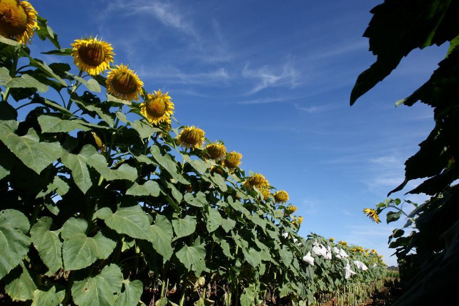 90 proc. światowej produkcji biopaliw to zasługa USA i Brazylii.