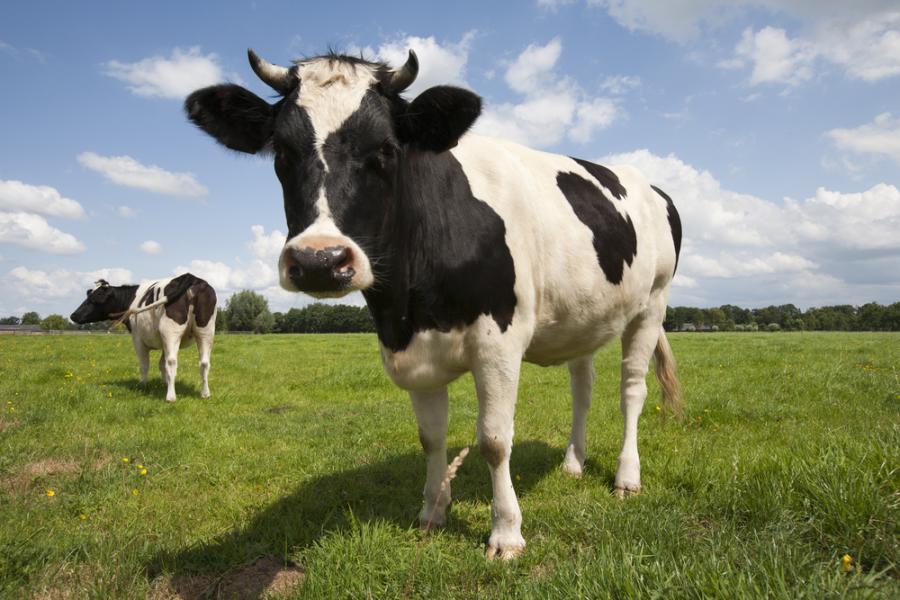 Krowa, bydło