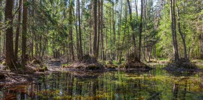 Ministerstwo Środowiska musi wycofać się z wycinki Puszczy Białowieskiej