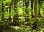 """Na trenie nadleśnictwa Bircza znajduje się obecnie 8 rezerwatów przyrody, jednak nie obejmują one wszystkich najcenniejszym miejsc. Park narodowy miałby rozpościerać się na powierzchni ok. 18 tys. ha, z czego obecnie istniejące rezerwaty przyrody to tylko 3,25% (""""Rebece"""", """"Na Opalonym"""", """"Turnica""""). Już Państwowa Rada Ochrony Przyrody w 2011 r. na posiedzeniu wyjazdowym w Przemyślu potwierdziła potrzebę zachowania """"unikalnych na skalę międzynarodową wartości przyrodniczych"""" tego obszaru, zwracając przy tym uwagę, że dotychczasowy stan jego ochrony jest wysoce niewystarczający. Jednym z wysuniętych wówczas postulatów było pilne rozszerzenie ochrony rezerwatowej najcenniejszych ekosystemów projektowanego parku narodowego. Opierając się m. in. na tym argumencie, Fundacja Dziedzictwo Przyrodnicze chce na terenie 8 tys. hektarów ustanowić rezerwat """"Reliktowa Puszcza Karpacka"""", który """"będzie w stanie trwale zabezpieczyć najcenniejsze fragmenty turnickich lasów, dopóki nie powstanie park narodowy"""".  <br><br> Warto przypomnieć, że w Polsce lasy gospodarcze stanowią 99 proc. powierzchni wszystkich lasów. Tylko 1 proc. z nich objętych jest szczególną formą ochrony przyrody. <br><br> fot. Maciek Suchorabski"""